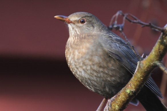 Blackbird female, 11 November 2012