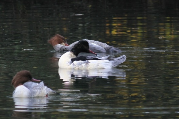 Female and male goosanders cleaning their feathers, 18 November 2012