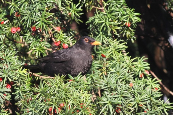 Male blackbird and berries, yew tree in university garden, 11 November 2012