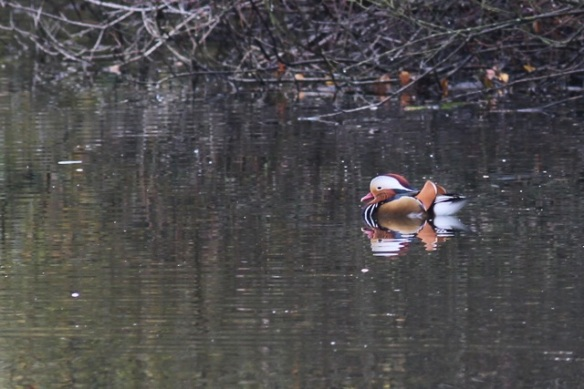 Mandarin duck, 18 November 2012