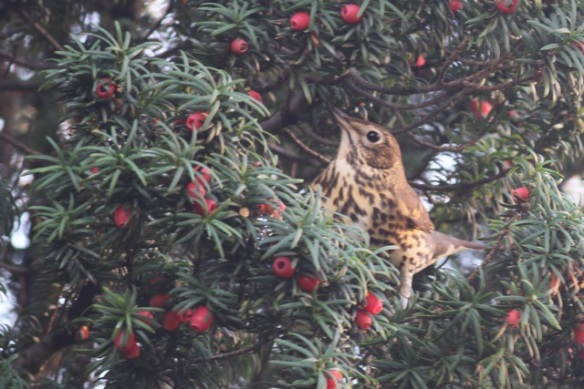 Song thrush and berries, 11 November 2012
