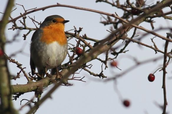 Robin, 18 December 2012