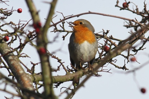 Robin singing, 18 December 2012