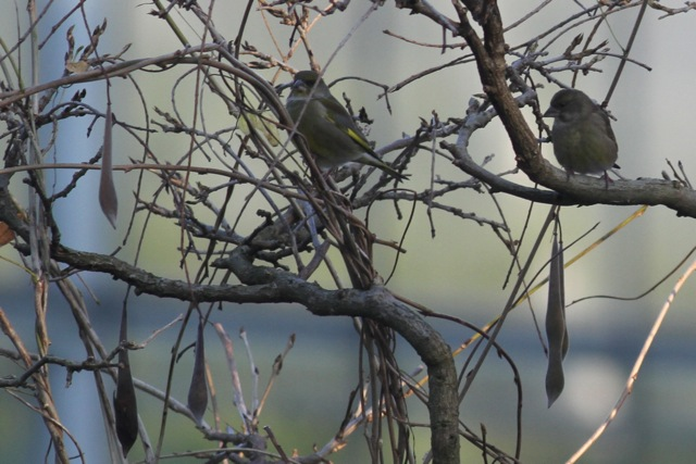 Greenfinches, botanical garden, 8 December 2012