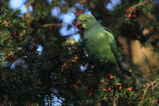 Ring-necked parakeet female, botanical garden, 8 December 2012