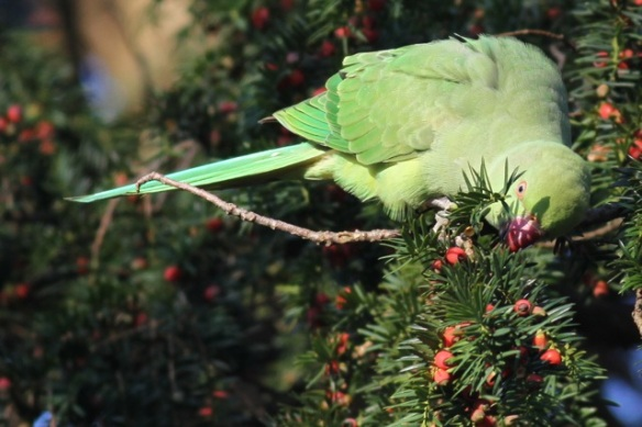 Ring-necked parakeet female, yew tree, botanical garden, 8 December 2012