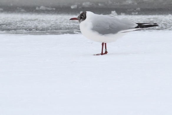 Black-headed gull, in summer plumage, 26 January 2013