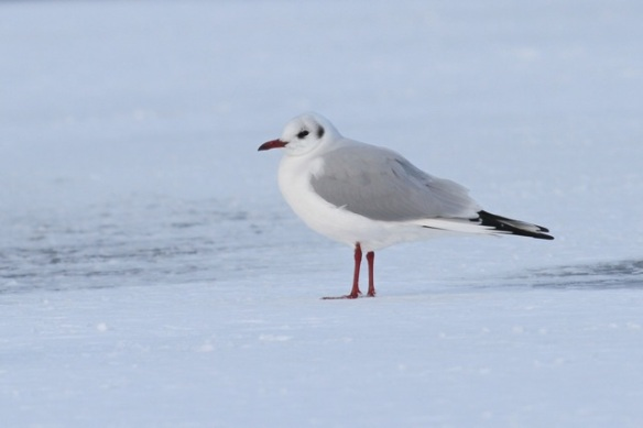 Black-headed gull, in winter plumage, 26 January 2013