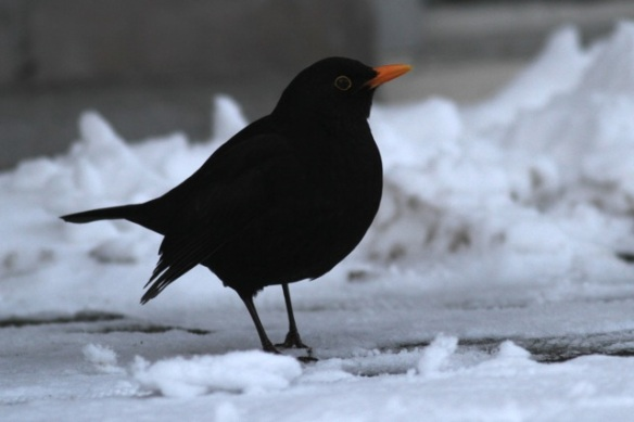 Blackbird male, 26 January 2013
