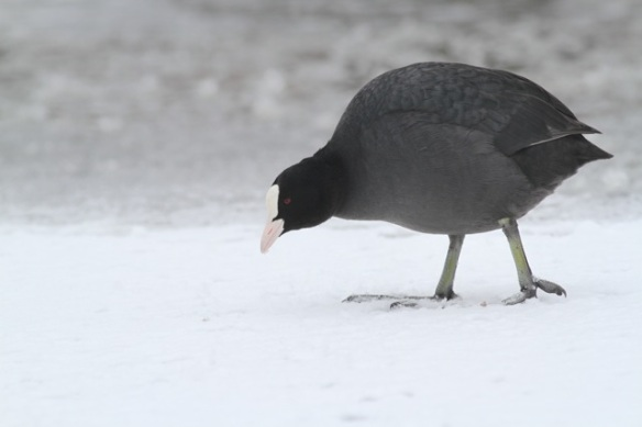 Coot, 26 Januuary 2013