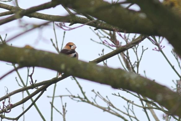 Hawfinch, 19 January 2013