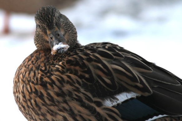 Mallard duck, 26 Januuary 2013