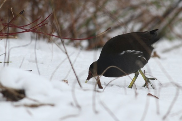 Moorhen on the snow in the garden, 26 January 2013