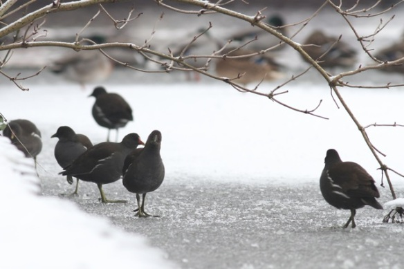 Moorhens, 26 January 2013