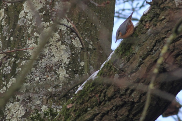 Nuthatch, 19 January 2013