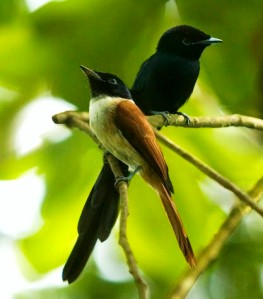 Seychelles paradise flycatchers, male and female