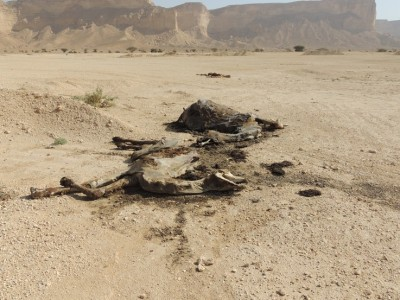 Three dead camels. Photo taken by George Darley-Doran