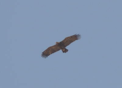 Adult steppe eagle