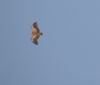 Second picture of Griffon vulture