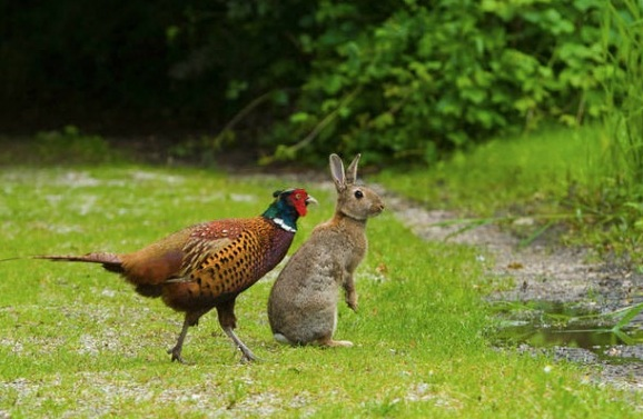 Pheasant and rabbit