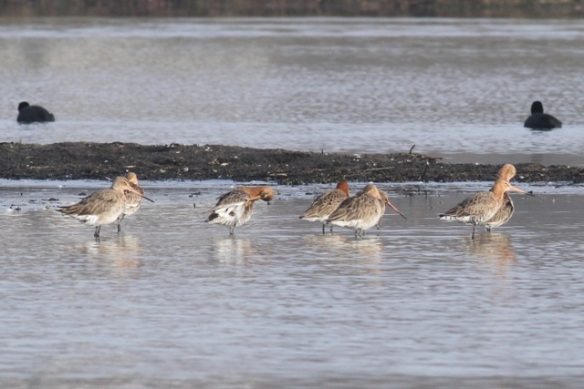 Black-tailed godwits, Polders bij Poelgeest, 18  February 2013