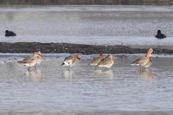 Black-tailed godwits, Polders bij Poelgeest, 18  February 2013