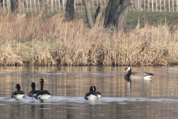 Canada geese and a barnacle goose, 18 February 2013