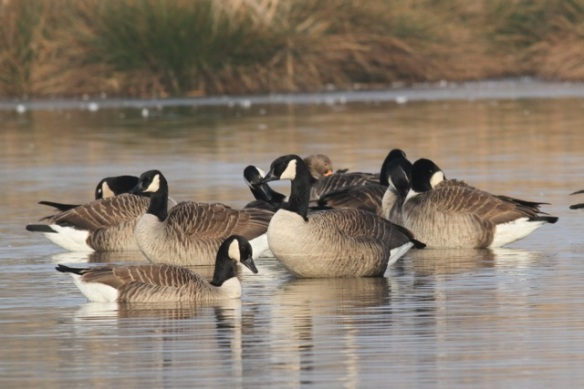 Canada geese and a grey lag goose, 18 February 2013