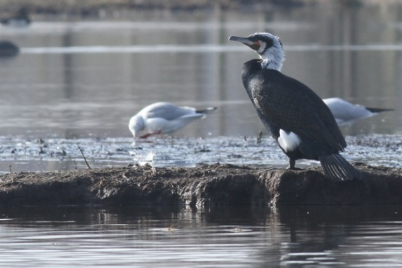 Great cormorant and common gull, 18 February 2013