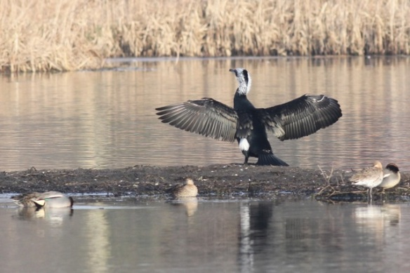 Great cormorant and teal, 18 February 2013