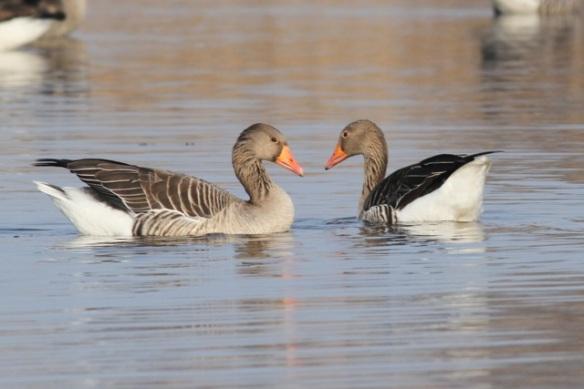 Grey lag geese, 18 February 2013