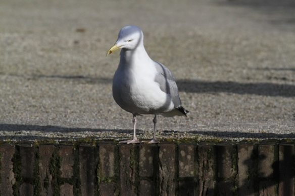 Herring gull, 2 February 2013