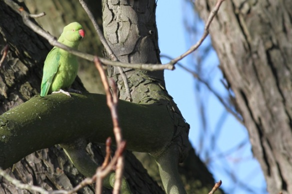 Ring-necked parakeet, botanical garden, 2 February 2013