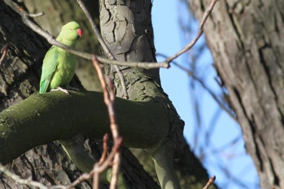 Ring-necked parakeet, botanical garden, 2 February 2013