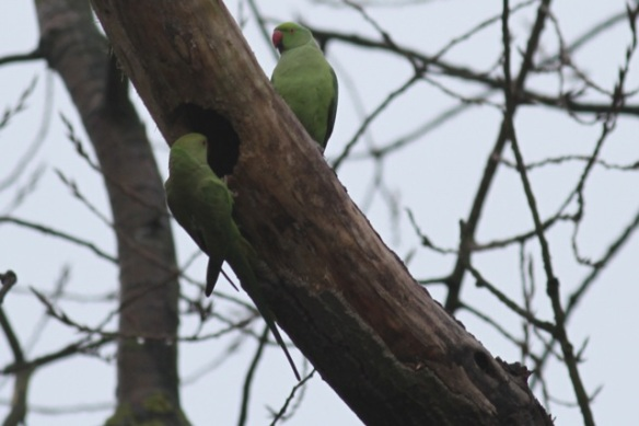Ring-necked parakeets, Meijendel, 16 February 2013