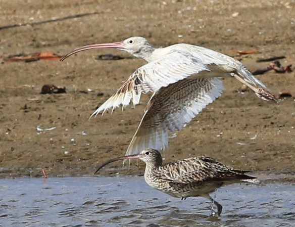 A leucistic Eastern curlew seen in Queensland - Photo credit Tony Ashton