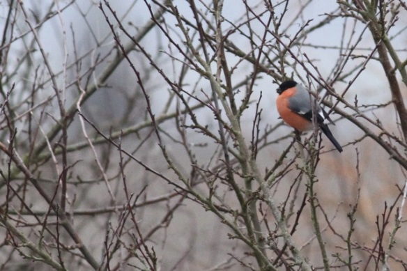 Bullfinch male at the Ferme aux Grues, France, 28 February 2013
