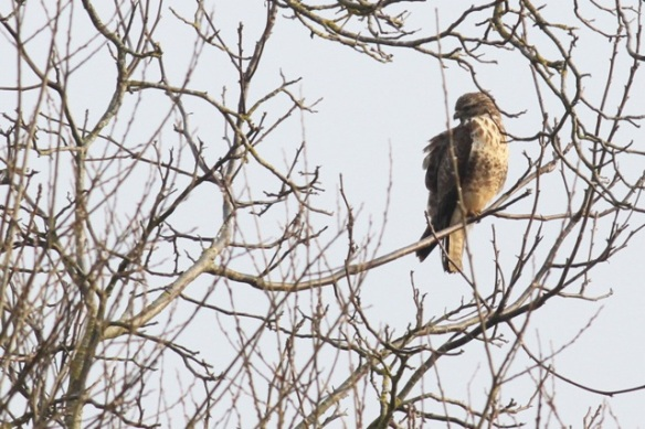 Buzzard, France, 2 March 2013
