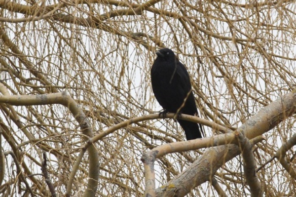Carrion crow, near Lac du Der, France, 28 February 2013