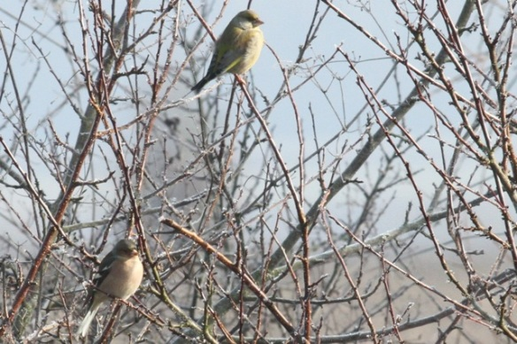 Chaffinch and greenfinch, Ferme aux Grues, 3 March 2013