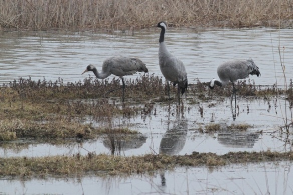 Crane family, youngster at left, still feeding at Lac du Der, France, 28 February 2013