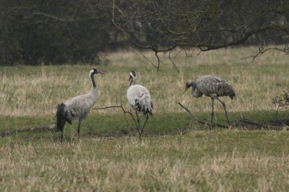 Crane family, youngster at right, feeding at the Ferme aux Grues, France, 28 February 2013