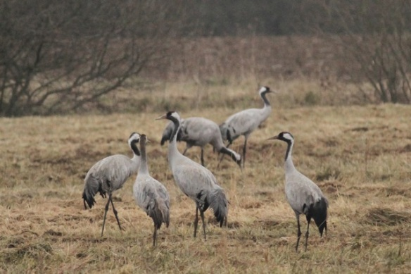 Crane flock feeding at the Ferme aux Grues, France, 28 February 2013