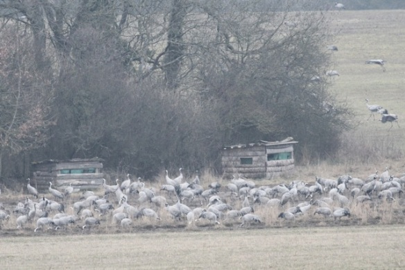 Crane flocks feeding at the Ferme aux Grues, France, 28 February 2013