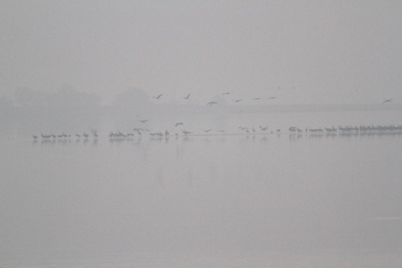 Cranes, early morning, flying, Lac du Der, 3 March 2013
