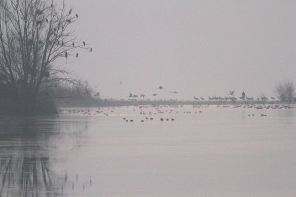 Cranes, early morning, Lac du Der, 3 March 2013