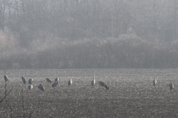 Cranes, Ferme aux Grues, 3 March 2013