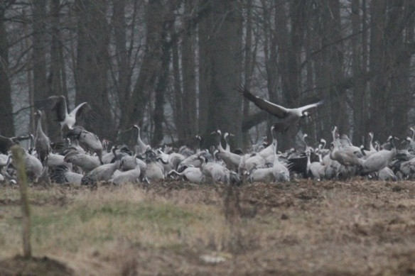 Cranes flying close to forest, France, 1 March 2013