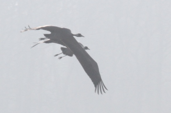 Cranes flying, Ferme aux Grues, 3 March 2013