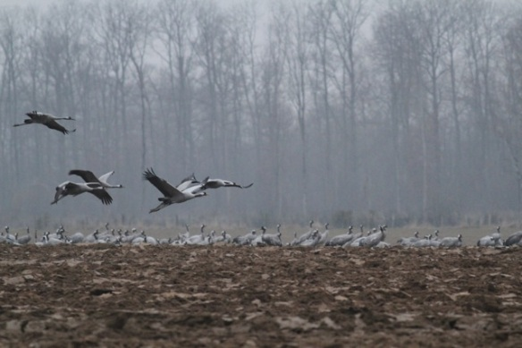 Cranes flying near forest, France, 1 March 2013